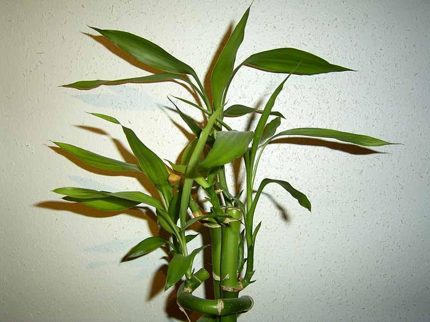 bambus zimmerpflanzen bambustrnds. Black Bedroom Furniture Sets. Home Design Ideas