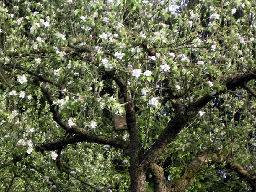 faules obst an bäumen